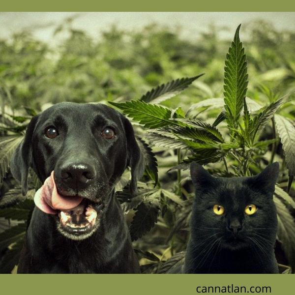 CBD para Animales