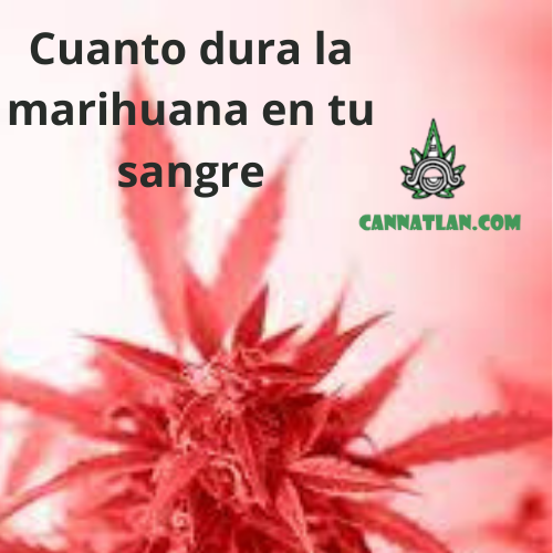 cuanto dura la marihuana en tu sangre antidoping cannatlan