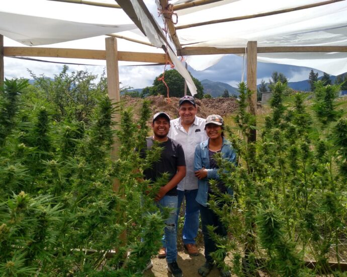 Indigenas de Oaxaca se organizan para plantar marihuana cannatlan