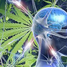 efectos de la marihuana cannabis en el cuerpo cannatlan
